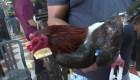 Corte Suprema no acepta retirar prohibición a peleas de gallos