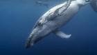 """La """"mano"""" oculta que tienen las ballenas en las aletas"""