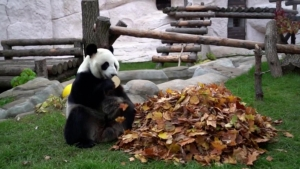 Esto hace un panda cuando le esconden susgolosinas