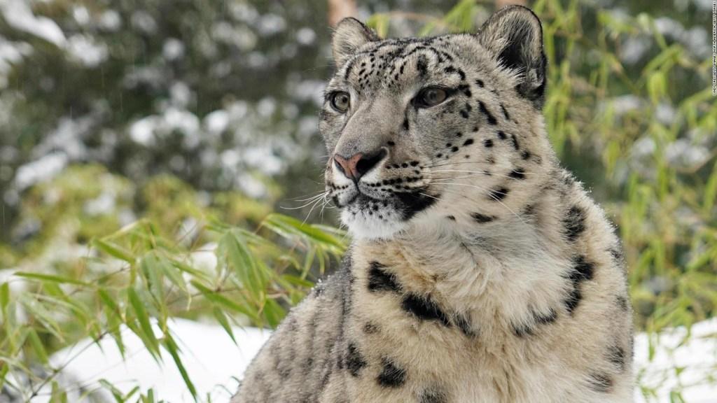 Nuevas imágenes de un animal en peligro de extinción