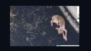 Empresa intenta rescatar a perros atrapados en La Palma