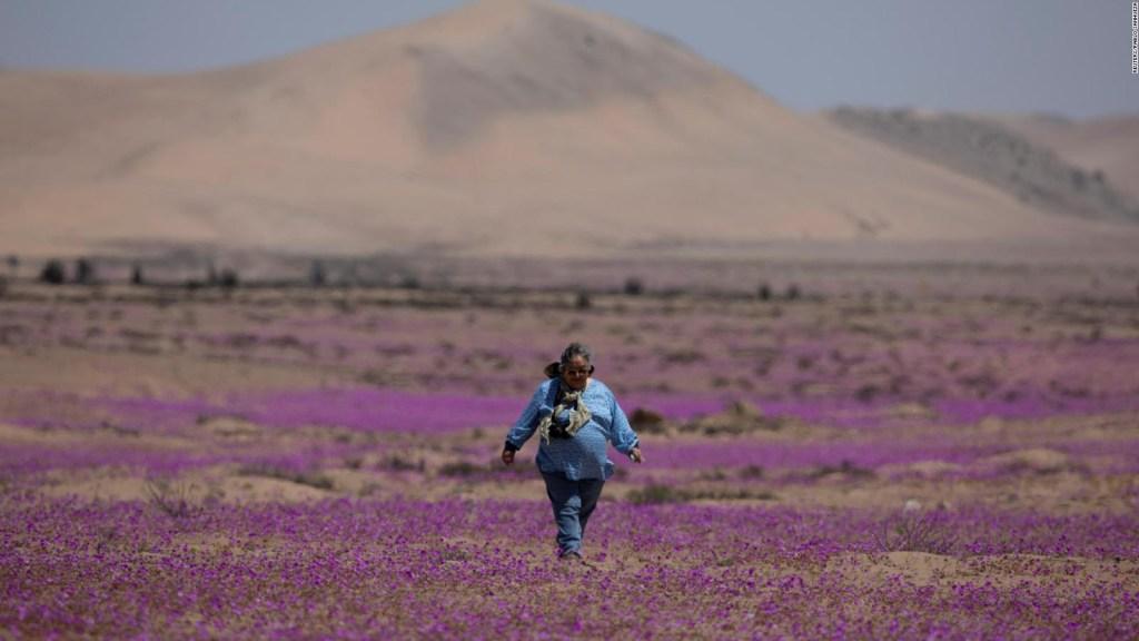 Espectacular, así florece en el desierto de Atacama