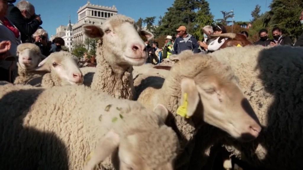 La tradicional fiesta española en que participan ovejas