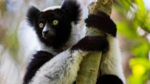 """Grupo de lémures sorprende con su afinado """"canto"""""""