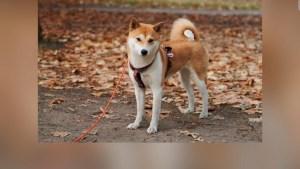 Shiba Inu: ¿cómo es el perro detrás de la criptomoneda?
